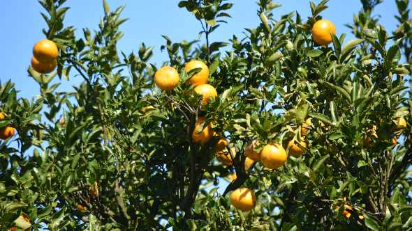 Florida Citrus Season Ends On Up Note