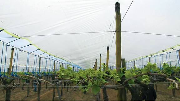 plastic vine cover seedless grapes chile - Growing Produce