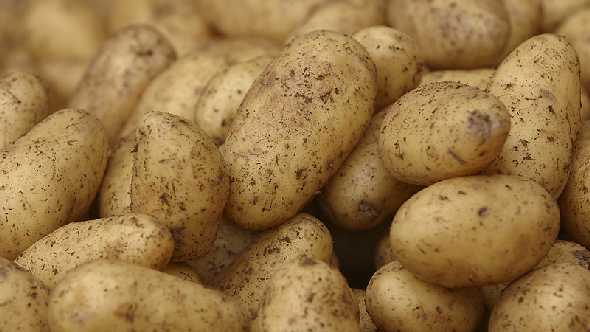 Black Gold Farms Kicks Off Red Potato Harvest In Southeast Missouri