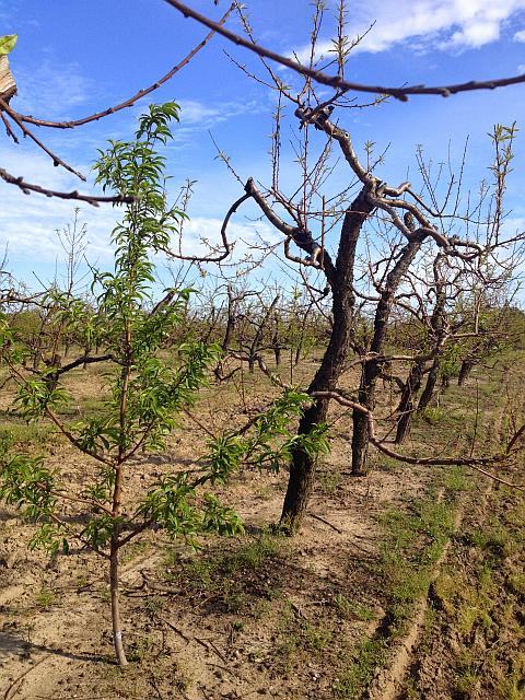 Figure 1. Decline of older peach trees and survival of young replant following low temperatures in winter of 2013-14 in southern Michigan. (Photo credit: Bill Shane)
