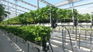 Growing Greenhouse Strawberries Can Pay