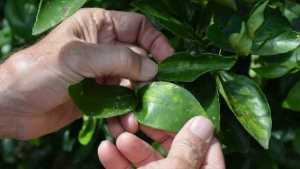 What Florida Growers Should Be Feeding Their Citrus Trees