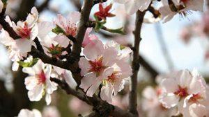 Understanding Almond Set And Nut Drop