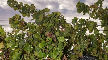 sonoma-county-winegrowers