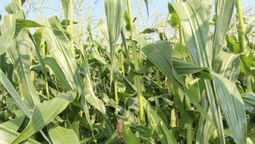 The Effects Of Poly-Coated Urea On Sweet Corn Production