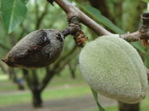Bacterial spot over-wintering on diseased, mummified fruit. (Photo Credit: Jim Adaskaveg)