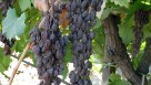 Sunpreme is the first raisin grape that dries naturally on the vine.