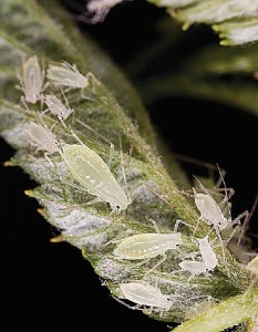 These aphids vector numerous raspberry viruses. (Photo Credit: Stephen Ausmus, USDA-ARS)