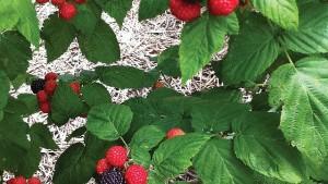 Building A Better Black Raspberry
