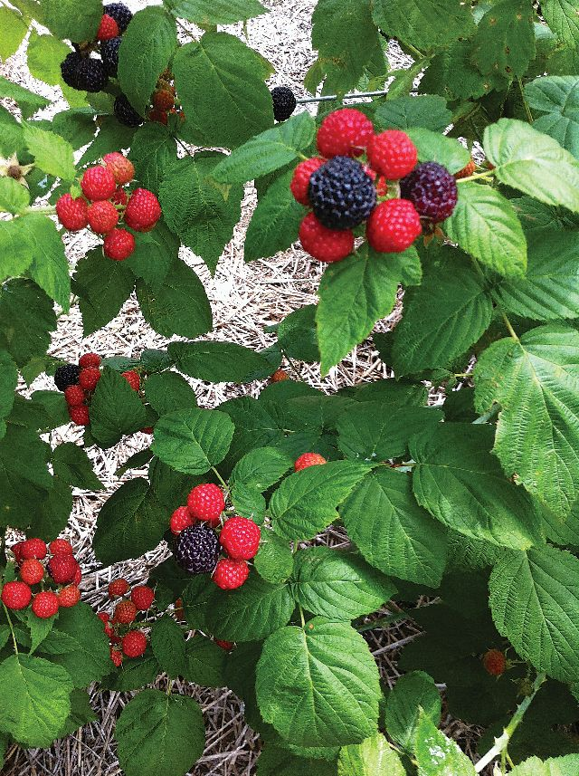 Building A Better Black Raspberry - Growing Produce