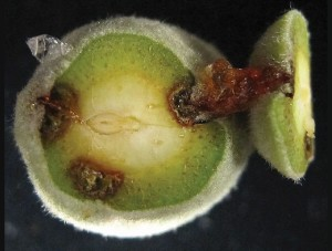 Bacterial spot will cause gumming if left unchecked. (Photo Credit: Jim Adaskaveg)