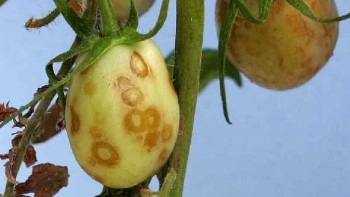 Tomato necrotic streak virus symptoms
