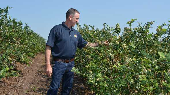Scott West inspects blueberry bushes