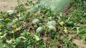 How To Control Damaging Diseases In Melons
