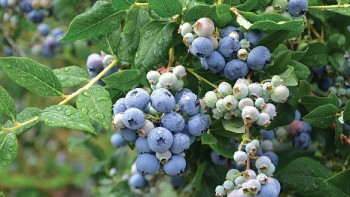 Only most recently fully expanded and healthy leaves, such as those on the left side of ripening blueberries, should be selected for tissue sampling. (Photo credit: Gary Gao)