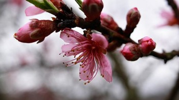 peach buds and blossom