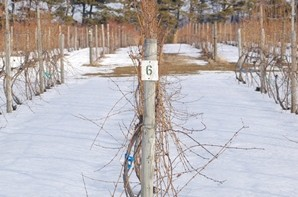The snow cover on these Vinifera vines is less than 1 foot deep, so very few buds are protected from the cold. Photo: Duke Elsner