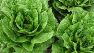 USDA Offers 16 New Lettuce Breeding Lines