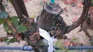 Tips For Grapevine Trunk Disease Diagnostics, Prevention, and Control
