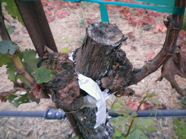 Note the galling on the aerial portion of the vine due to Agrobacterium vitis infection on this field-grafted plant. (Photo credit: Judit Monis)