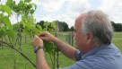 UF/IFAS developmental biologist Dennis Gray looks at the progress of grapevines in a vineyard.