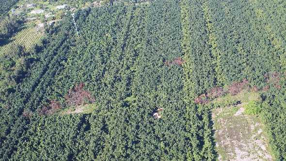 A view from a low-altitude helicopter shows avocado groves in south Miami-Dade County.
