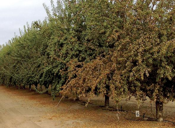 Photo 2: This tree at the end of the row received higher rate of herbicide. (Photo credit: Wes Asai)