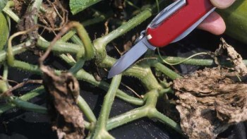 Bacterial wilt of curcurbits