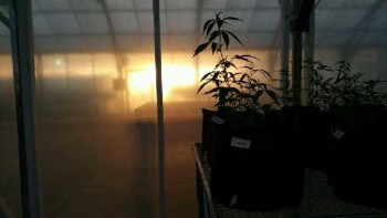 Charlotte's Web-medical marijuana in greenhouse