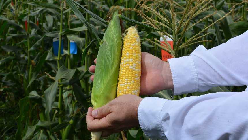Abbott & Cobb sweet corn demo