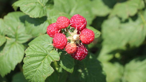 Washington Berry Grower Accused Of Illegal Irrigation Appeals Fines