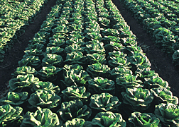 Lettuce Disease Gives E. Coli A Boost