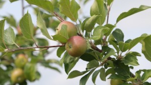 Video Highlights The Apple Breeding Process