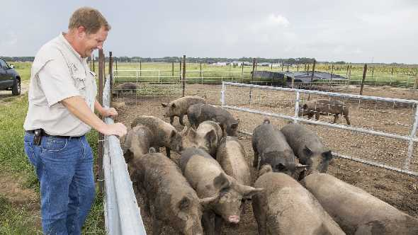 UF/IFAS researcher looks after pigs on weed control duty