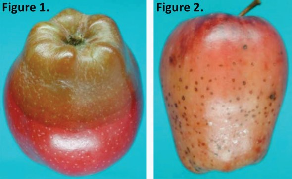 Sphaeropsis rot Speck rot (Fig. 1) and speck rot (Fig. 2) is seen on Red Delicious apple. Both rots can occur either on the stem or calyx end of the fruit showing stem-end rot symptoms. (Photos used with permission from C.L. Xiao, USDA-ARS, Parlier, CA)