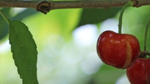 Natural Product Helps Prevent Cherry Cracking