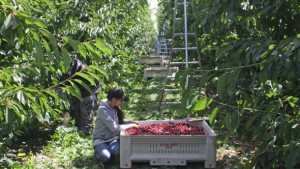 Suppliers Say the Future of Fruit Growing is Automated