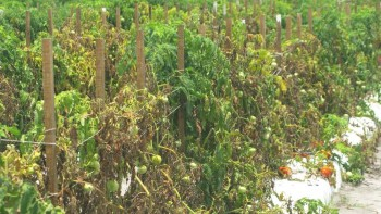 tomato plants showing signs of Fusarium wilt