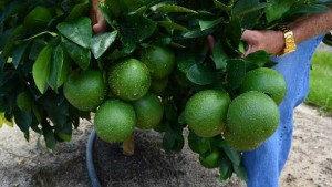 Emergency Exemption OK'd For FireWall 50 WP To Combat Canker On Florida Grapefruit