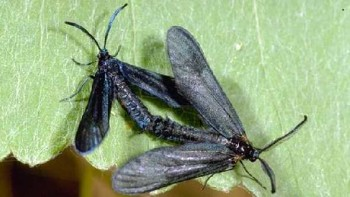 Western grapeleaf skeletonizer moths
