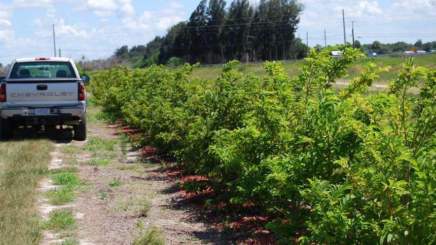 sugar apple grove in Florida