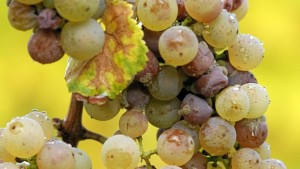 Spring Rains Could Increase Phomopsis And Botrytis Infections On Grapes