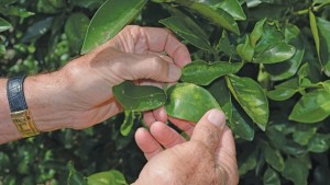How To Expose Citrus Greening Before It Appears
