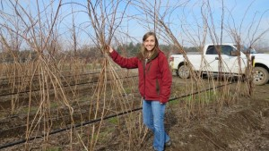 Removing Leftover Roots May Improve New Raspberry Crop's Health