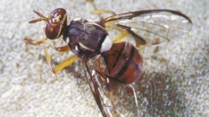 Oriental Fruit Fly Successfully Eradicated In Miami-Dade County