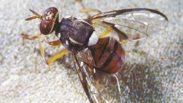 Oriental Fruit fly