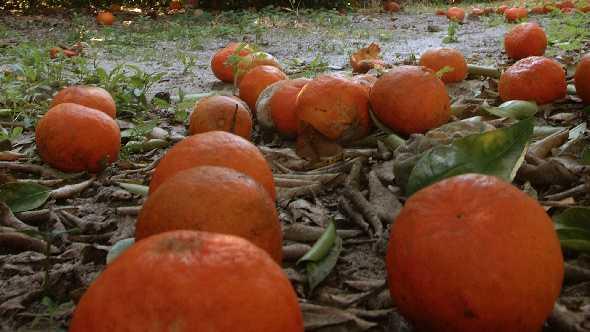 citrus fruit drop in a Florida grove