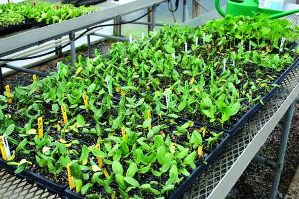 Clemson University researchers developed a labor-saving technique that will simplify the grafting process. They determined that rootstock regrowth can be controlled by treating rootstock meristems with a fatty alcohol product, which is typically used to control sucker growth in tobacco production.  Photo credit: Clemson