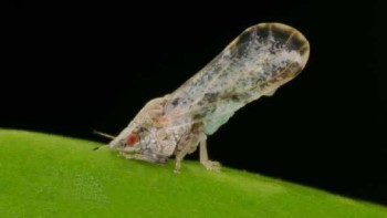 Asian citrus psyllid closeup