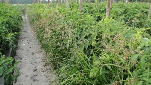 Scientists Zone in on Precision Weed Control